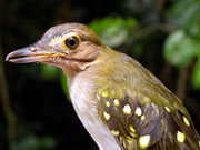 Eastern Nicator photo: Andrew Perkin